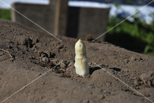 An asparagus tip poking out of the earth