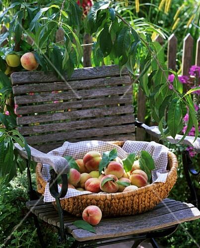 Peaches in a basket on a garden chair