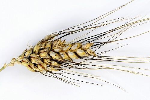 Cone or rivet wheat (Triticum turgidum var. plinianum)