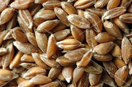 Emmer wheat (close-up)
