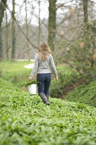 Woman picking ramsons (wild garlic) in a wood