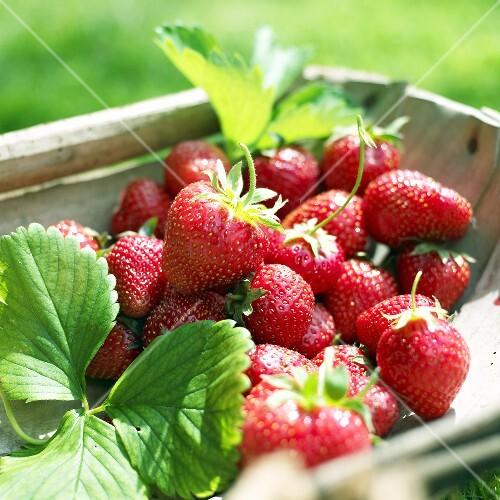 Fresh strawberries in trug