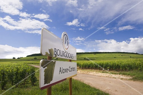 Vineyard above Aloxe Corton, Burgundy, France