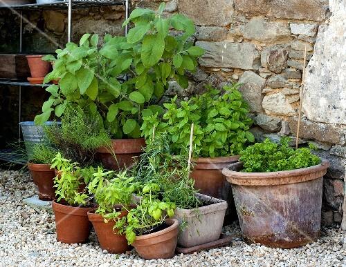 Pots of herbs in a garden
