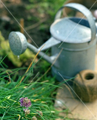 Chives, watering can and twine in a garden