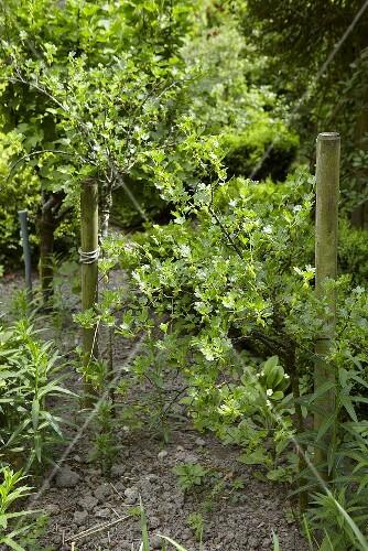Gooseberry bushes in a garden