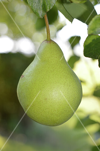 Williams pear on the tree