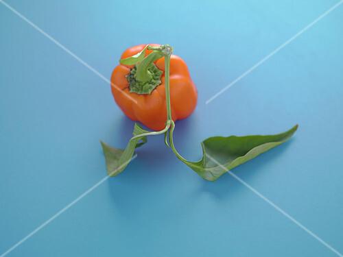 Orange bell pepper on a blue background