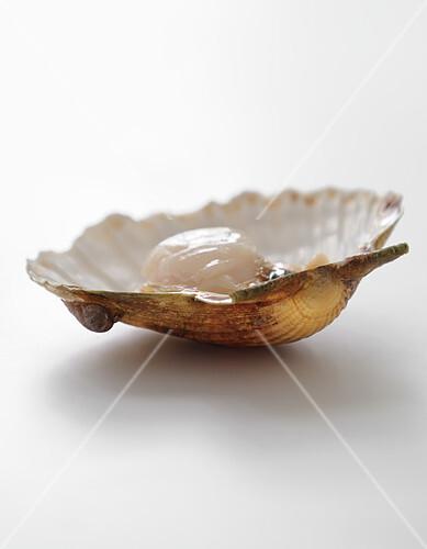Scallop in it's open shell