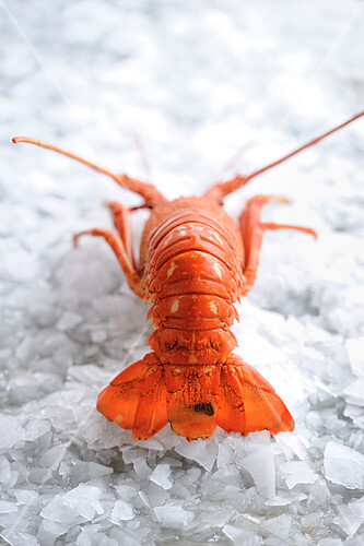 Spiny lobster on crushed ice