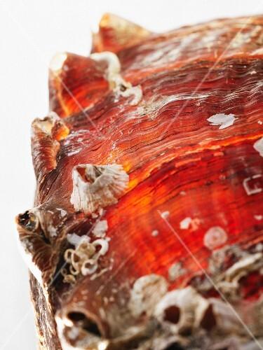 Schale von Abalone