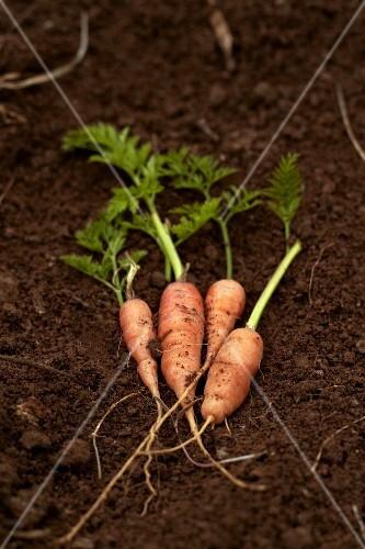 Carrots on earth