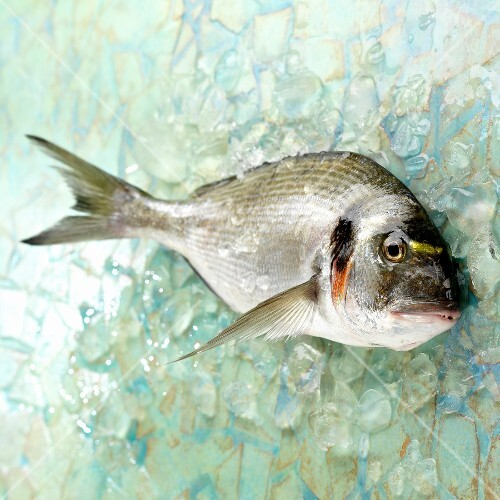Raw grey sea bream
