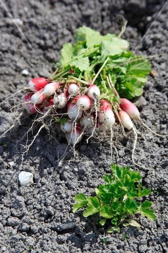 Bunch of radishes freshly gathered
