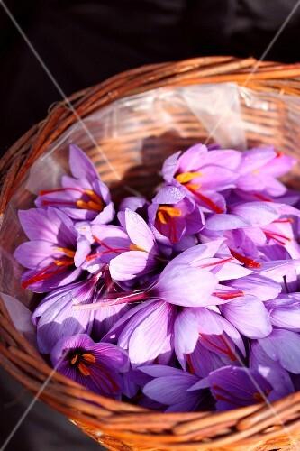 Basket of saffron crocus flowers