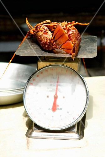 Weighing fresh spiny lobsters