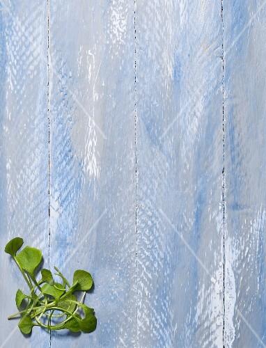 Purslane on a blue background