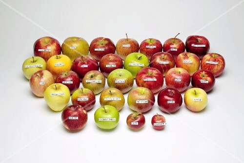 Thirty two different apple varieties with labels