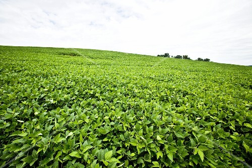 Soybean Field in Pennsylvania