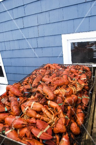 Very Large Wire Basket Full of Steamed Lobsters
