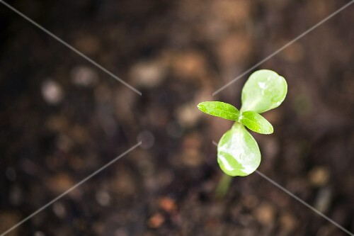 Sunflower Sprout; Growing Outdoor; Close Up