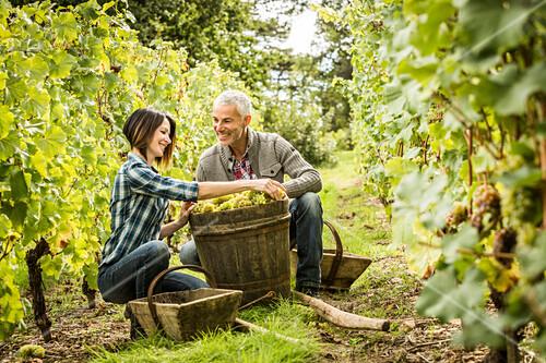 Caucasian farmers picking grapes in vineyard